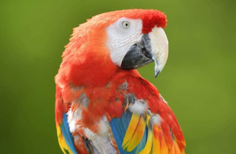 'Bored' pet parrots prone to pining for the jungle, research shows